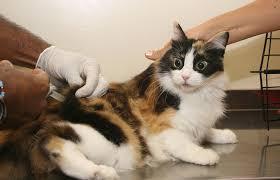 Foto vacinação gato