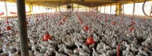 galpao_avicultura