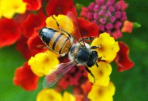 Bee - Mel